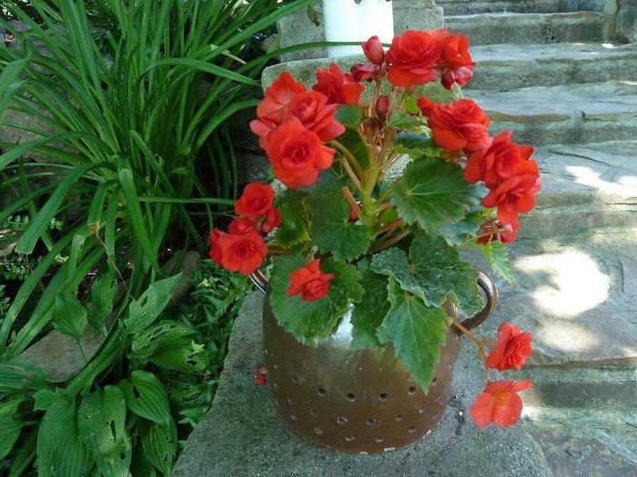 Thu Hải Đường là một giống hoa phổ biến và dễ trồng.
