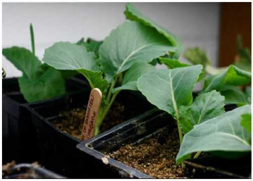 Cây bắp cải 2 tuần tuổi đã ra khoảng 2 đến 3 lá thật.