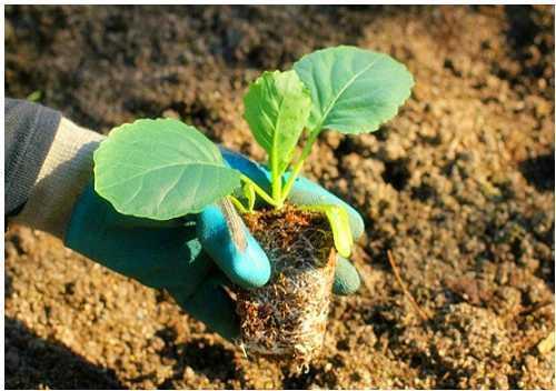 Sau khi trồng phải tưới nước ngay, ngày tưới 2 lần vào sáng sớm và chiều mát cho đến khi cây hồi xanh, sau đó 3-5 ngày tưới 1 lần.