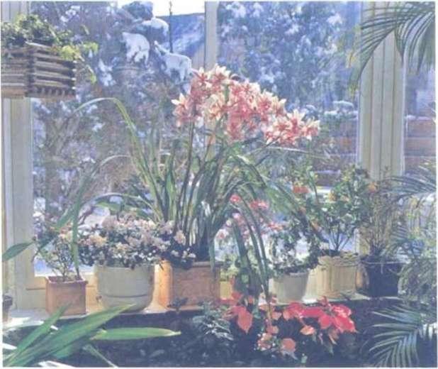 Các cây lan như Cymshulium có thể phái triển tươi tốt khi đặt chúng bên cạnh những loại cây trồng trong nhà khác nltưcâv trạng nguyên, cây họ cà, cây khô (họ (đỗ guyên) và giống cam quýt.