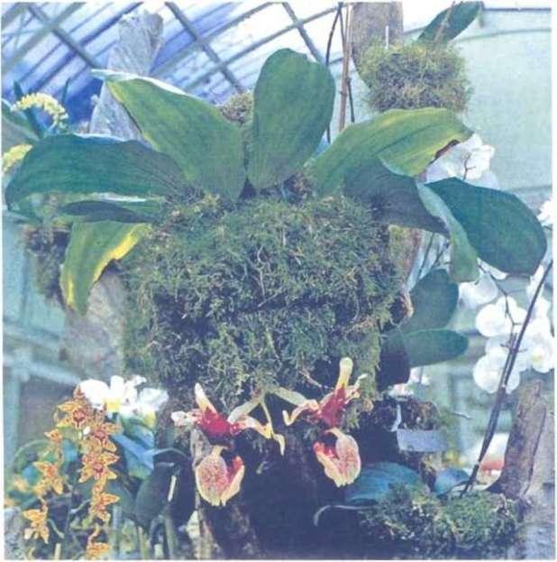 Stanhopea tigrina xuất xứ từ đỏng Mexico, là một loài lan nở hoa ngay trên hề mặt chậu hoa. rất phù hợp để treo trong nhà kính.