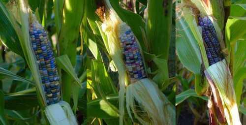 Những bắp ngô của anh Bill Reynolds ở Minnesota đã sẵn sàng để thu hoạch