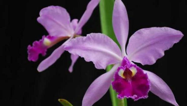 7 giống lan phổ biến trên thế giới