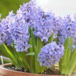 Cách trồng hoa Tiên Ông, mang an khang đến nhà
