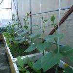Hướng dẫn cách trồng dưa leo tại nhà