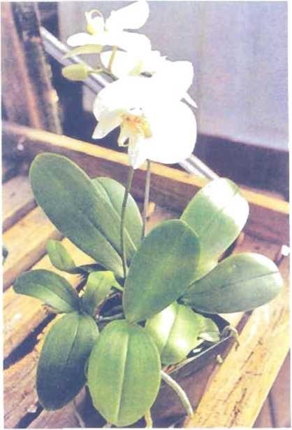 """Cây lan Phukienopsis đang trong thời kỳ ra hoa lần đầu tiên - sự thích nghi đã đem đến cho cây này cái tên khá phổ biến """"lan bướm đêm""""."""