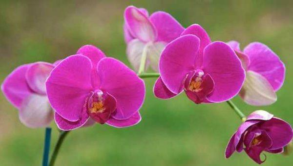 Cách trồng lan Hồ Điệp (Phalaenopsis)