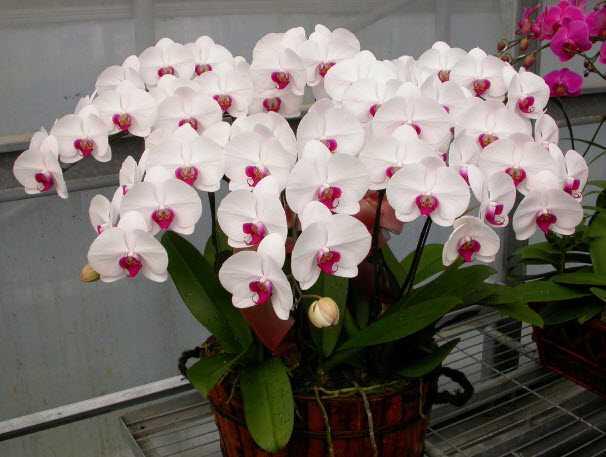 cach trong lan ho diep phalaenopsis 7