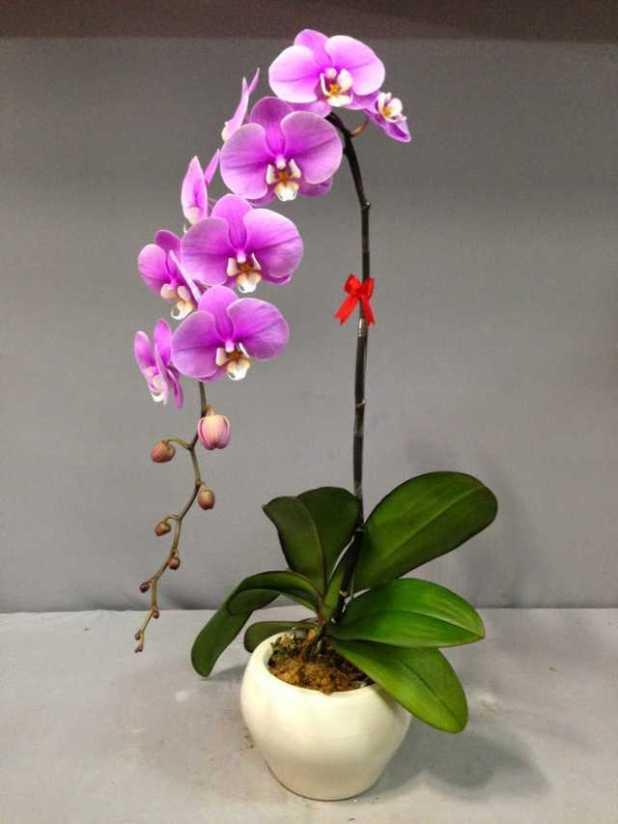 cach trong lan ho diep phalaenopsis 6