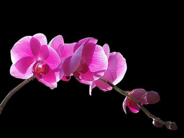 cach trong lan ho diep phalaenopsis 13