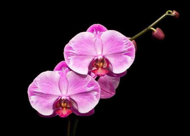 cach trong lan ho diep phalaenopsis 3