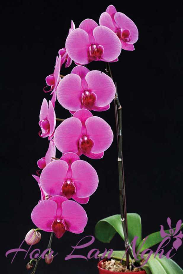 cach trong lan ho diep phalaenopsis 9