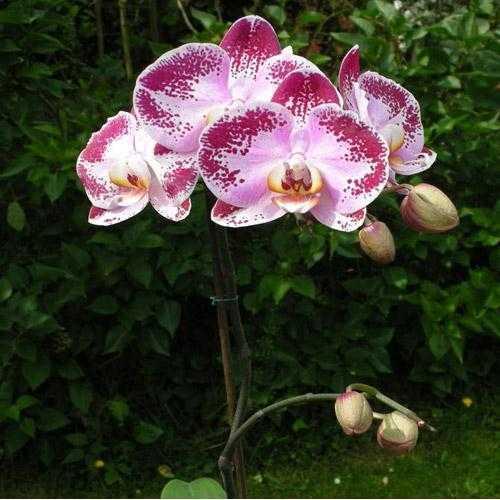 cach trong lan ho diep phalaenopsis 11