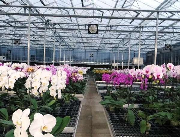 Nhà kính trồng cây có thể trồng nhiều loại lan phù hợp với vi khí hậu và những điều kiện ánh sáng.