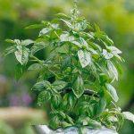 Tập trồng rau sạch trong nhà với 9 loại cây dễ trồng