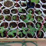Cách trồng rau trong túi rẻ tiền, năng suất cao