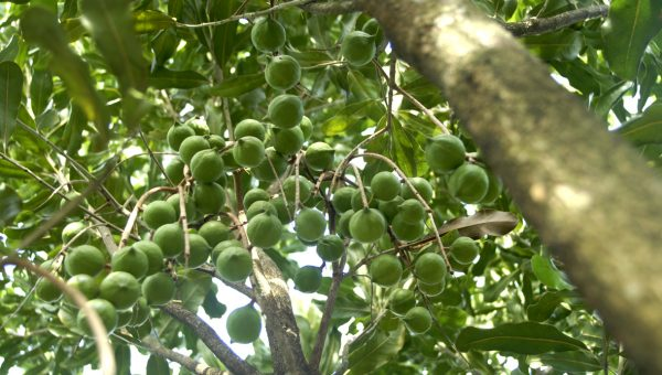 Hướng dẫn kỹ thuật trồng, chăm sóc cây Mắc ca
