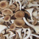 Kỹ thuật trồng và chăm sóc nấm chân dài