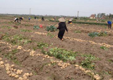 Kinh nghiệm trồng khoai tây vụ đông