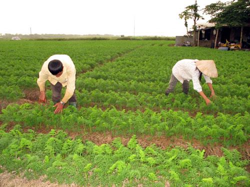Kỹ thuật trồng cà rốt hiệu quả