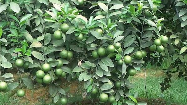 Kỹ thuật trồng chanh tứ quý ra nhiều quả