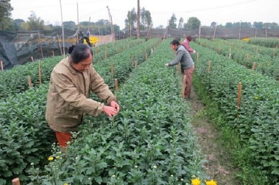 Kỹ thuật trồng hoa cúc pha lê: Làm sao để nở hoa đúng tết?