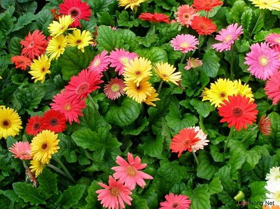 Kỹ thuật trồng hoa đồng tiền: Nên chọn giống hoa Đà Lạt