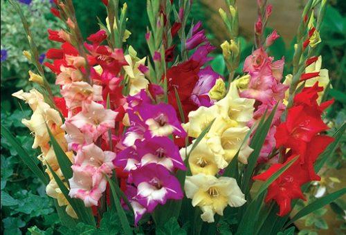 Kỹ thuật trồng hoa lay ơn: Chủ động nguồn nước để hoa nở như ý muốn