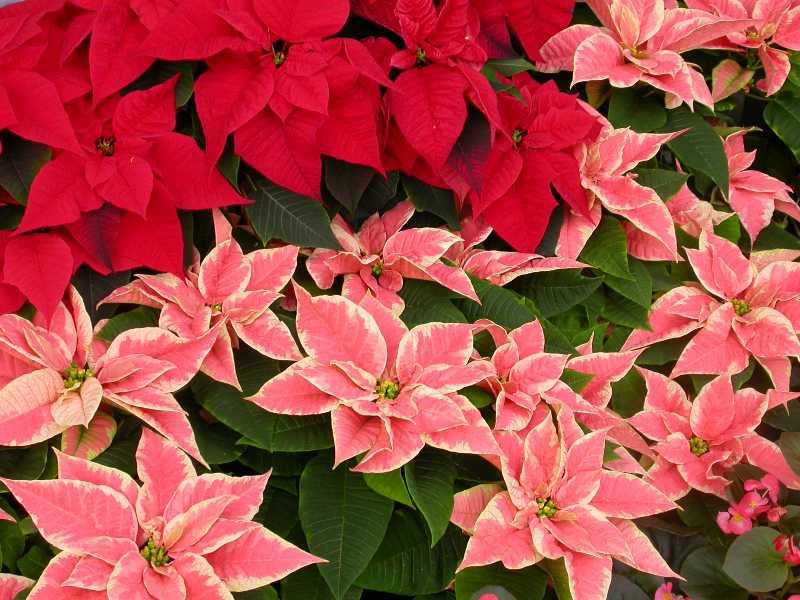 Kỹ thuật trồng và chăm sóc cây hoa trạng nguyên