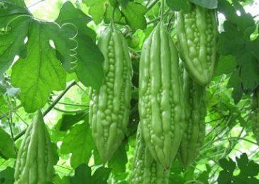 Kỹ thuật trồng và chăm sóc mướp đắng ra nhiều quả