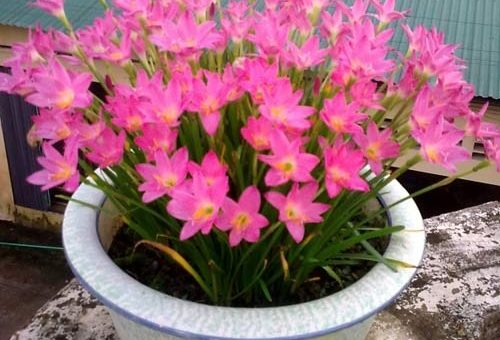 Kỹ thuật trồng cây hoa tóc tiên cho hoa rực rỡ