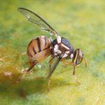 Hướng dẫn phòng trừ ruồi đục quả