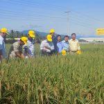 Sản xuất lúa giống bằng phương pháp cấy máy
