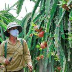 Vệ sinh vườn và phun thuốc định kỳ sẽ phòng được bệnh đốm nâu trên thanh long