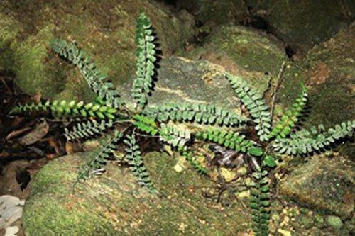 Loài dương xỉ Quảng Bình trong tự nhiên.