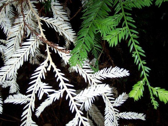 So sánh loài gây gỗ hồng bình thường và bạch tạng.