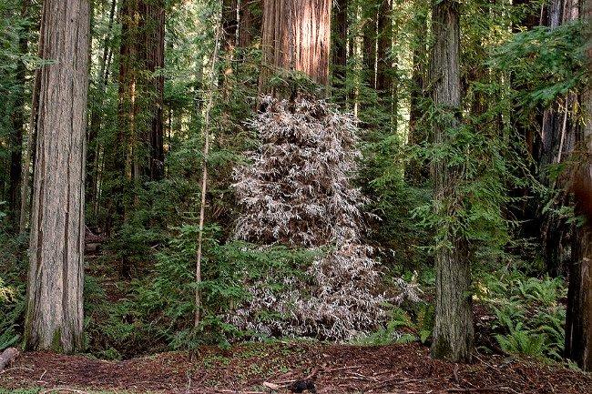 Cây gỗ hồng bạch tạng lọt thỏm giữa những cây cao chót vót