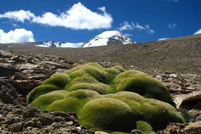 Các loài cây đệm được phát hiện ở độ cao 6.150 m trên mực nước biển.