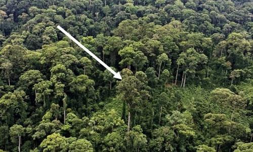 Cây nhiệt đới cao nhất thế giới trong rừng Malaysia.