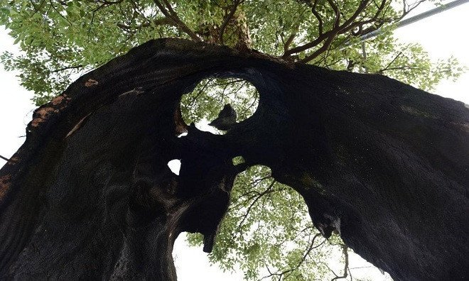 Trước mắt, cây long não được huyện Vụ Nguyên đưa vào danh sách những cây gỗ quý cần được bảo vệ.