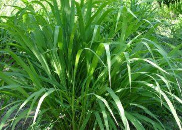 """8 loại cây dễ trồng khiến muỗi """"kinh sợ"""""""