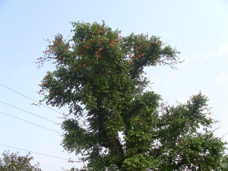 Tầm gửi là tên gọi chung cho các loài cây sống ký sinh trên cây chủ.