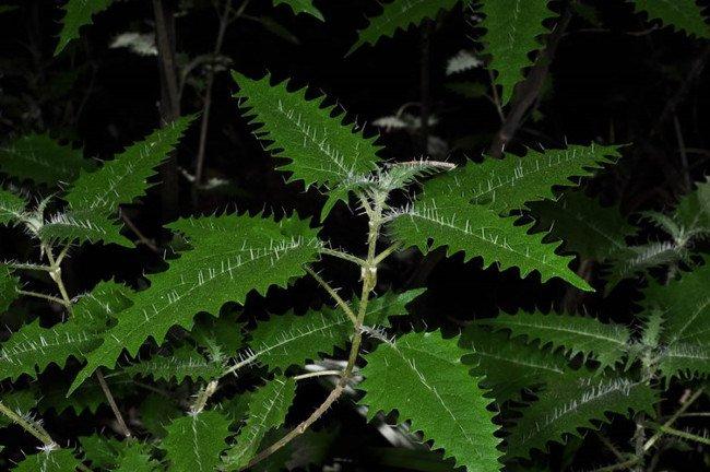 Độc tố có trong gai của cây tầm ma Urtica ferox là triffydin (hoặc tryfydin).