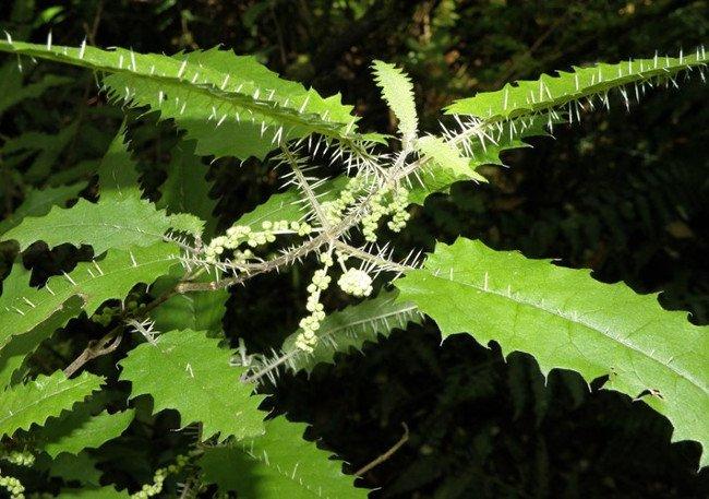 Tại New Zealand, cây tầm ma Urtica ferox sống ở các khu vực cận nhiệt đới và ôn đới, Urtica ferox rất phổ biến ở đảo Bắc nhưng chỉ giới hạn ở miền Nam.