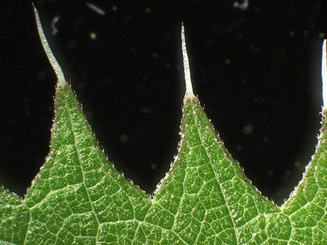 Mặc dù cây tầm ma Urtica ferox thực sự là một loại cây bụi có độc tính cao, nó cũng đóng một phần quan trọng trong sự phát triển của một loài bướm địa phương