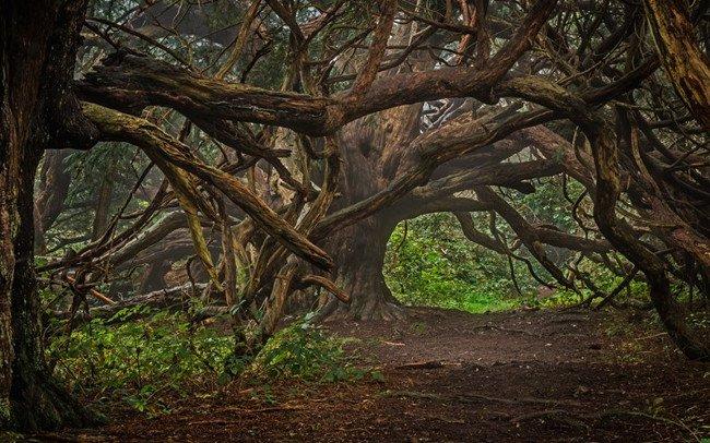 Hiện nay, chúng ta rất khó có thể cơ hội chiêm ngưỡng những cây thanh tùng cổ như ở Kingley Vale.