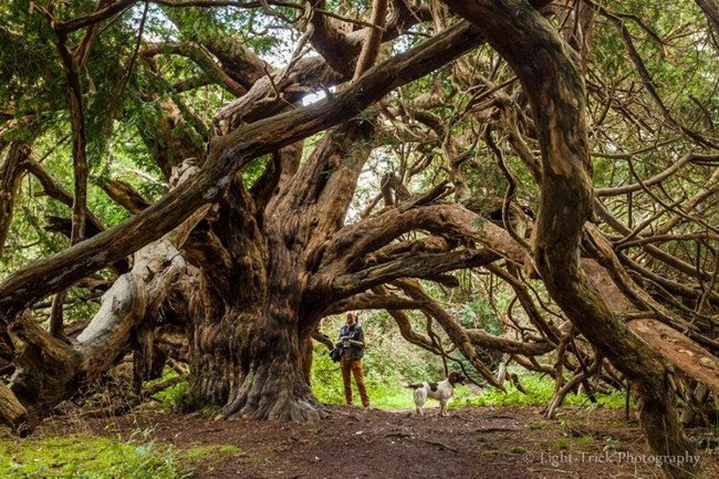 Thực chất, khu rừng phù thủy ở Kingley Vale là một trong những khu rừng thanh tùng lớn nhất, tuyệt vời nhất ở Tây Âu.