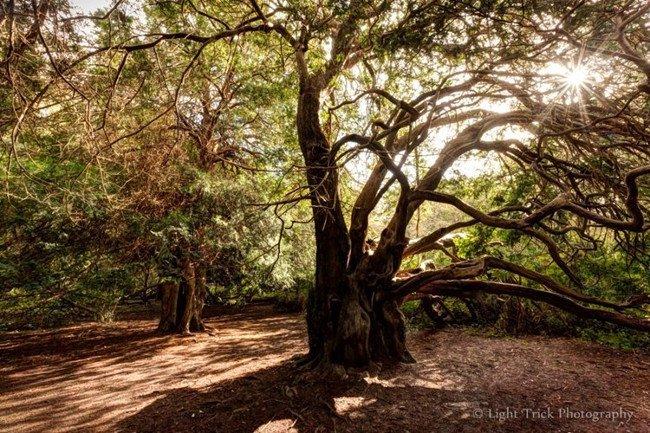 Thậm chí, một số cây thanh tùng ở đây có tuổi thọ hơn 1000 năm tuổi.