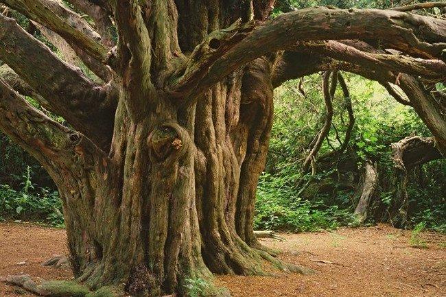 Dưới bóng của cây thanh tùng khổng lồ kỳ dị không có bất cứ thảm thực vật nào khác, thậm chí cỏ cũng không thể phát triển.