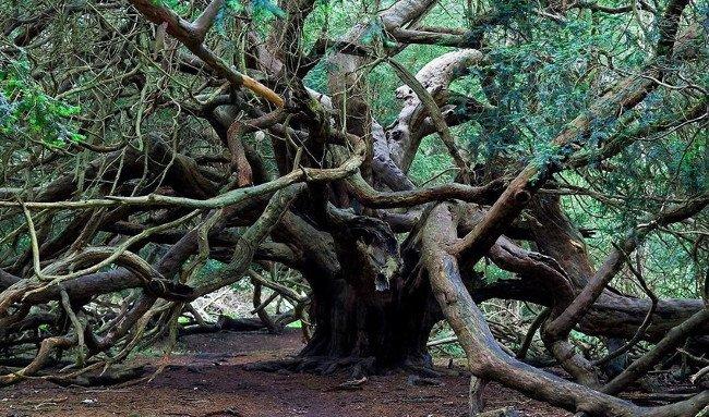 Tuổi của những cây thanh tùng khổng lồ tại Kingley Vale rất khó xác định, chủ yếu là do phỏng đoán.